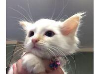 Female Flame Point Ragdoll Kitten For Sale