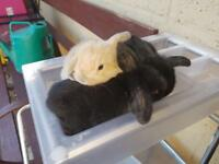 3 Baby French Lop Rabbits