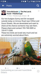 2 budgies lost July 29, 2017 in Peterborough, Ont.