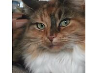Beautiful green-eyed CALICO cat for sale, NEED GONE/URGENT, completely healthy HYPOALLERGENIC female