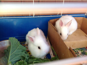 2 Cute Fluffy Pure White Bunnies For Sale