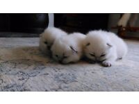 Cream British Shorthair colourpoint kittens