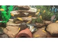 African cichlids tropical fish