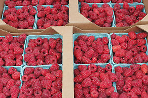 Raspberries for Sale $4 per pint box
