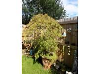 Acer / Japanese maple tree