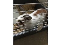 Male rabbit free to good home