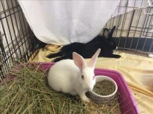"Baby Female Rabbit - Dutch: ""Georgie"""