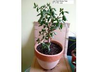 Money Tree Jade Plant in Terracotta Pot
