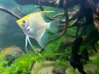 Angel fish white/gold