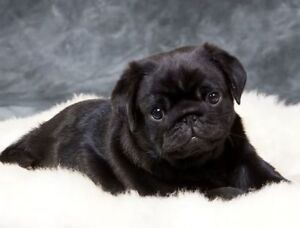 LOOKING FOR BLACK PUG