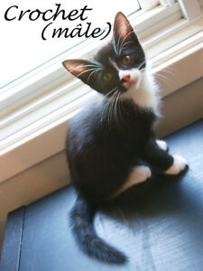 """Young Male Cat - Domestic Short Hair (Black & White): """"Crochet"""""""
