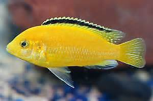 Ciclid fish: Yellow Lab , Sulfur Top - under 1 Inch