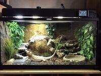 Breaded dragon 3 yrs old with KOMODO advenced vivarium L100xH50xD45cm