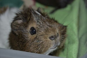 FREE Guinea pig is looking for a new home