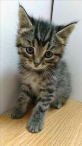 "Baby Male Cat - Domestic Medium Hair: ""Tyr - On Hold"""