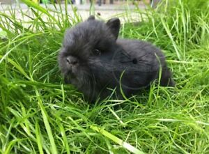 Twisted Whiskers Rabbitry - Female Netherland Dwarf For Sale