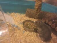 Dwarf Hampsters