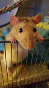 2 male rats, just under a year old looking for a new home!