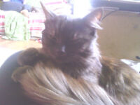 4 Year old Mainecoon X needs rehoming.