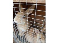2 baby rabbits for sale both females 10 weeks old £6 each