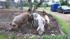 Large Sows & Bred Sows for Sale