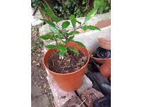 Bay tree in pot