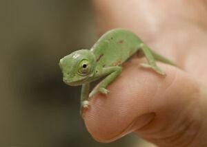 Baby Veiled Chameleons