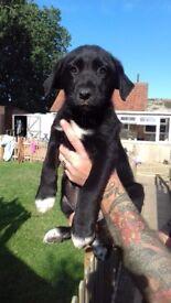 Labrador X puppies Ready Now