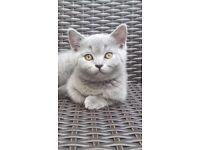 British blue short hair kitten
