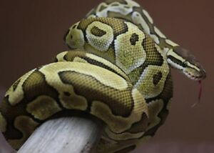 Ball Python with tank etc