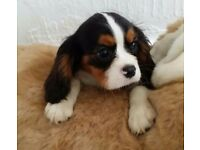 Chaz and Dave Cavalier King Charles Spaniel Pups last 2 remaining Reduced price