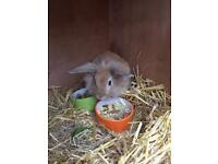 Lion head rabbit approx 4 months old open to offers