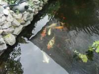 Japanese kind carp