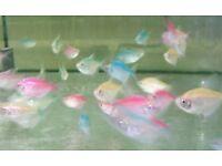 4x Colour Widow Tetra - live tropical fish