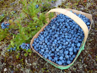 Wild blueberries for sale $11 a liter