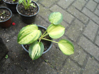 Plant for sale-A hosta plant in a 14 cm pot