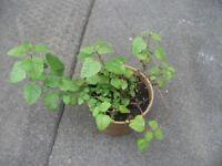 Plant Lemon Balm