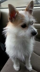LOST SMALL WHITE DOG CHI/TERRIER
