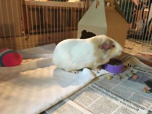 Looking to rehome guinea pig