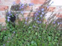 CANPANULA BLUE STAR FLOWERS ALONG STEMS - CLIMBING/TRAILING