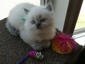Beautiful Persian/Ragdoll/Himalayan male kitten