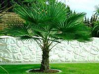 15 seeds hardy trachycarpus fortunei palm tree (windmill palm)