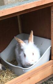 beautiful Lionhead cross rabbit free to a good home