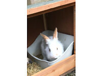 beautiful Lionhead cross rabbit free to a good home