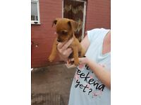 Chihuaha x jack russell