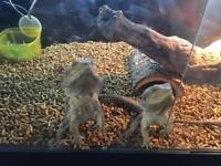 3 Bearded Dragons