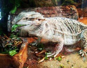 Bearded Dragon - Juvenile under 1yr