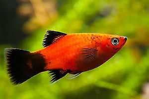 Platy fish babies-peaceful, easy, fun fish to have