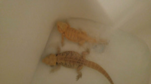2 bearded dragons