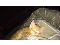 Female 9 week ginger kitten